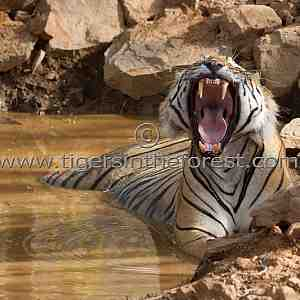 Display of power. (Panthera tigris tigris)