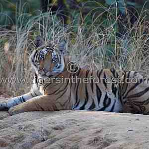 Young Vanvaye tigress (Panthera tigris tigris) at Bandhavgarh