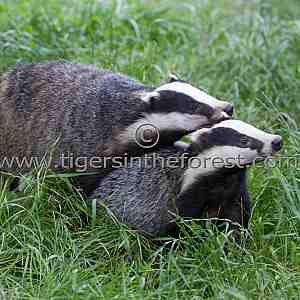 Two friendly badgers (Meles meles)