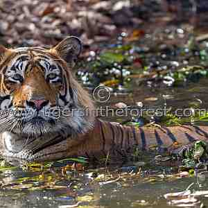 Large adult male tiger (Panthera tigris tigris)