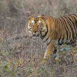 Bamera male tiger of Bandhavgarh