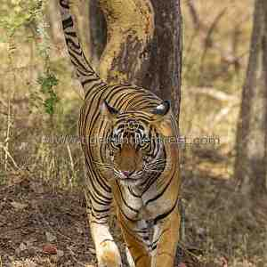 Tigress marking her home range.