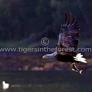 White tailed sea eagle (Haliaeetus albicilla)