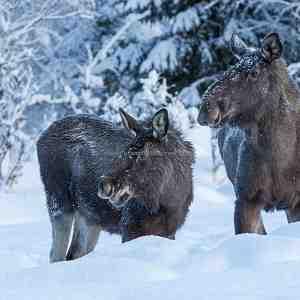 Norwegian Moose (Alces alces)