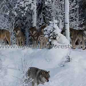 Eurasian wolves (Canis lupus lupus)