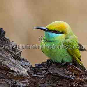 Small Green Bee-eater (Merops orientalis)
