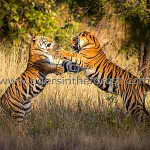 Siblings play fighting (Panthera tigris tigris)