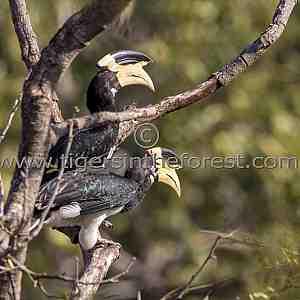 Malabar Pied Hornbill (Anthracoceros malabaricus)