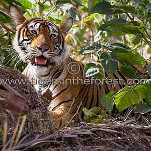 Well hidden young tigress (Panthera tigris tigris)