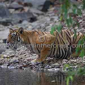 Thirsty adult tigress (Panthera tigris tigris)