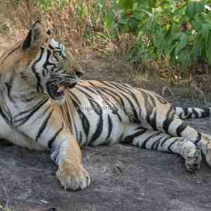 Bandhavgarh's iconic tiger