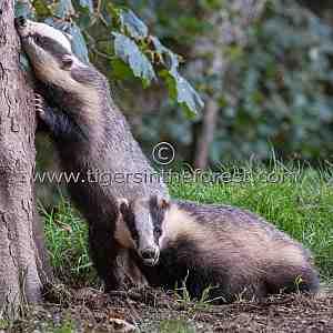 Two friendly Scottish badgers (Meles meles)