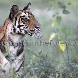 Beautiful Bandhavgarh tigress (Panthera tigris tigris)