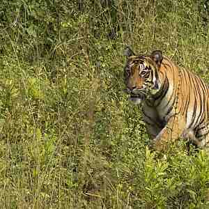 Young tigress emerging from her forest home.