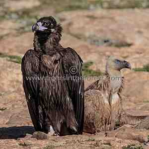 Eurasian Black Vulture and Griffon Vulture