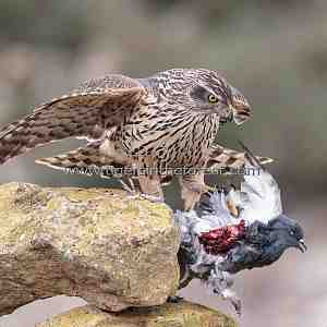 Goshawk with kill