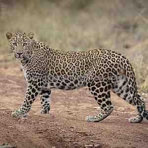 Male Leopard (Panthera pardus fusca)