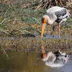 Painted Stork (Mycteria leucocephala) seen at Keoladeo National Park in India.