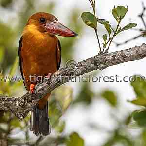Ruddy Kingfisher (Halcyon coromanda) see at The Sunderbans