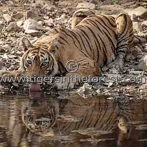Ranthambhore's icon tigress Machali at a water hole (Panthera tigris tigris)