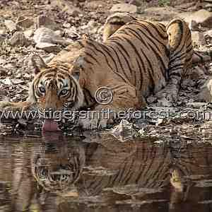 Ranthambhore's icon tigress Machali at a water hole