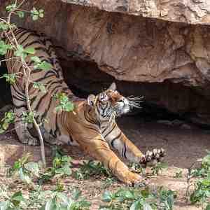 Sleepy tigress (Panthera tigris tigris) waking after resting in a cave.