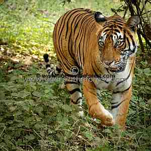 Tigress in the Forest (Panthera tigris tigris)