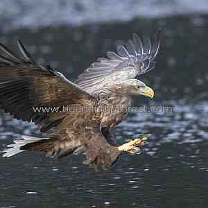 Sea Eagle about to make a catch