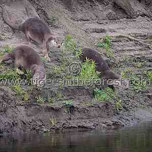 River Otters (Lutrogale perspicillata) seen on the Bramhaputra