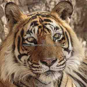 Adult male tiger (Panthera tigris tigris) of Ranthambhore