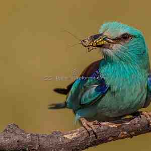 Eurasian Roller with grasshopper in beak.