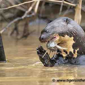 Giant river Otter with catch