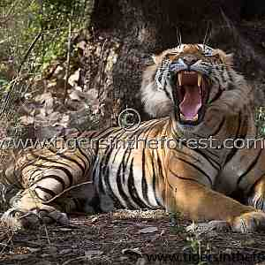 Large dominant male tiger of Ranthambhore (Panthera tigris tigris)