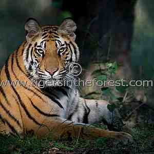 Male tiger in early morning light. (Panthera tigris tigris)