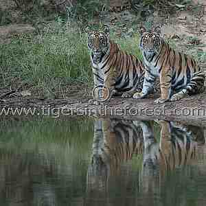 A pair of Tiger (Panthera Tigris Tigris) siblings waiting to enter the water.