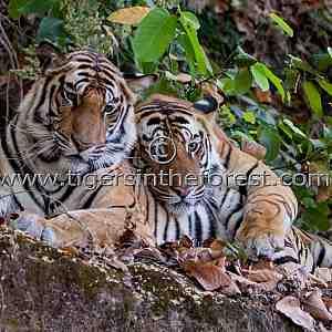 The brothers (Panthera tigris tigris)