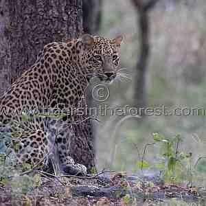 Young leopard seen at Pench National Park
