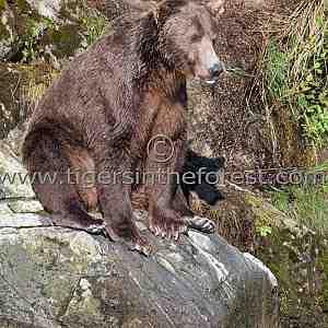 Brown Bear fishing. (Ursus arctos)