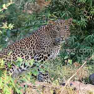 Leopard ( Panthera pardus fusca) seen in the forests of Bandhavgarh.