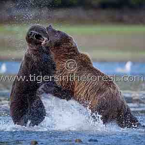 Brown Bears (Ursus arctos) fighting.