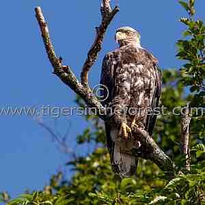 Bald Eagle (Haliaeetus leucoephalus)