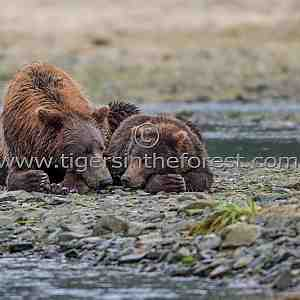 Brown bear mother and cub (Ursus arctos )