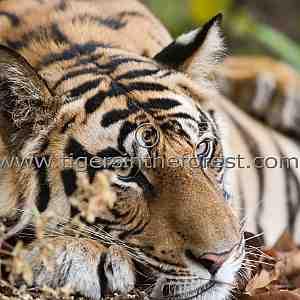 Sleeping beauty. (Panthera tigris tigris)