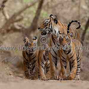 'Machali' and cubs (Panthera tigris tigris)