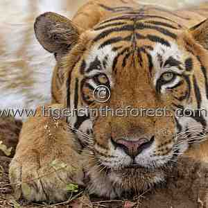 Ranthambhore's 'Star' male tiger