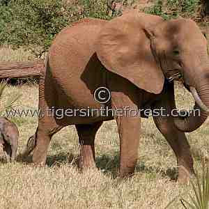 African elephant (Loxodonta africana) with calf.