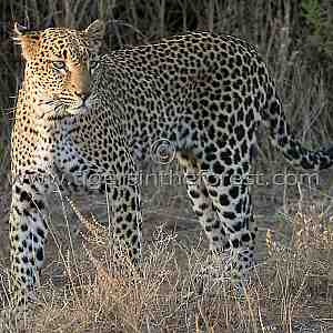African Leopard (Panthera pardus pardus)