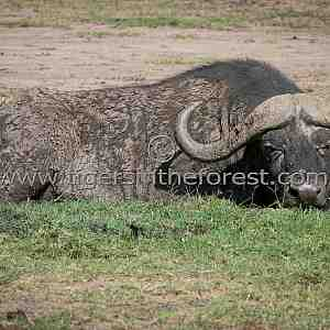 Water Buffalo (Syncerus caffer)