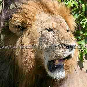 A Male Lion (Panthera leo)