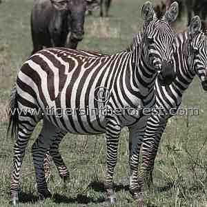 Zebra (Equus burchelli)